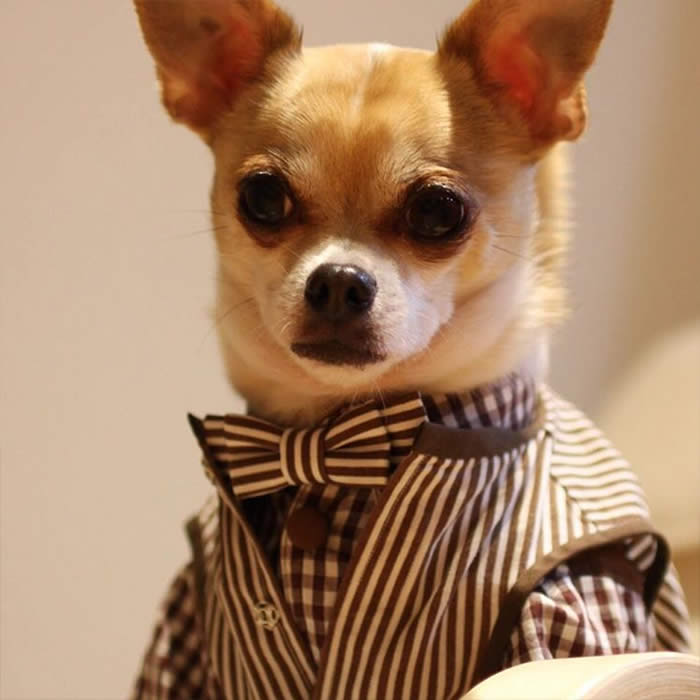 Best-Dressed-Dogs-Montjiro-Sullyburger-com