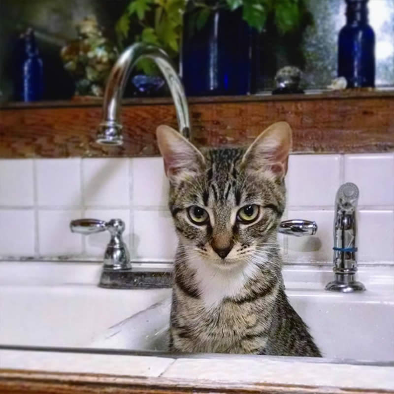 Cats-Chilling-in-Sinks-greenthingsgoldstuff-Sullyburger-com