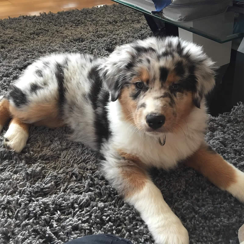 Cute-Puppies-amy-aussie-Sullyburger-com