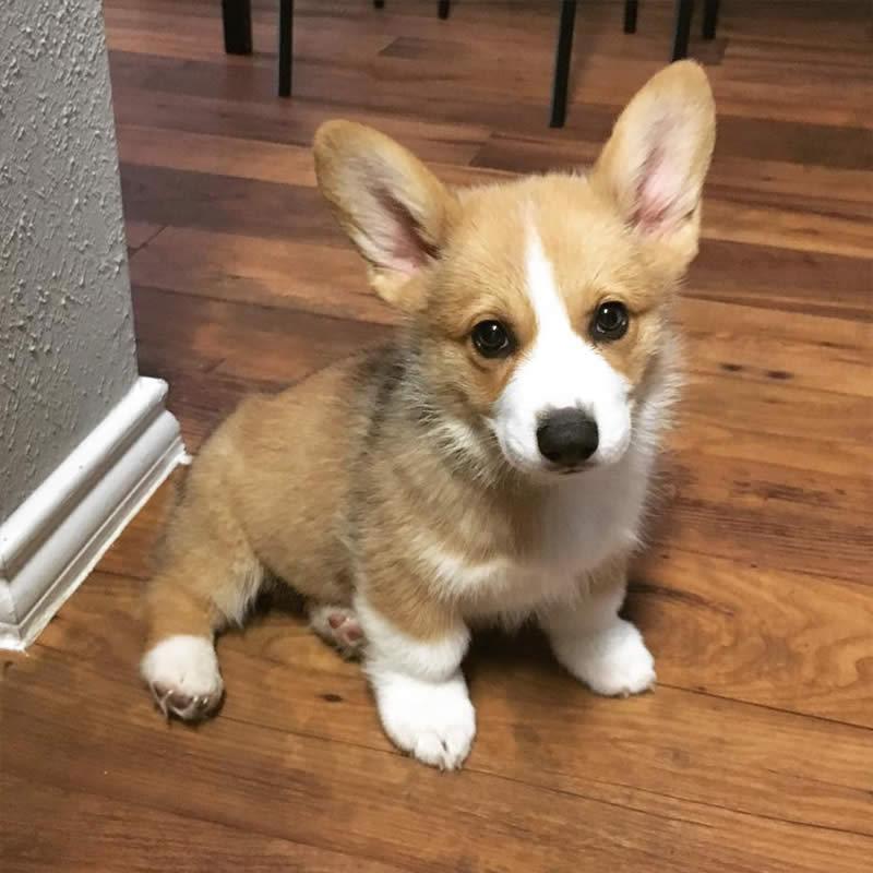 Cute-Puppies-cooper-corgi-Sullyburger-com
