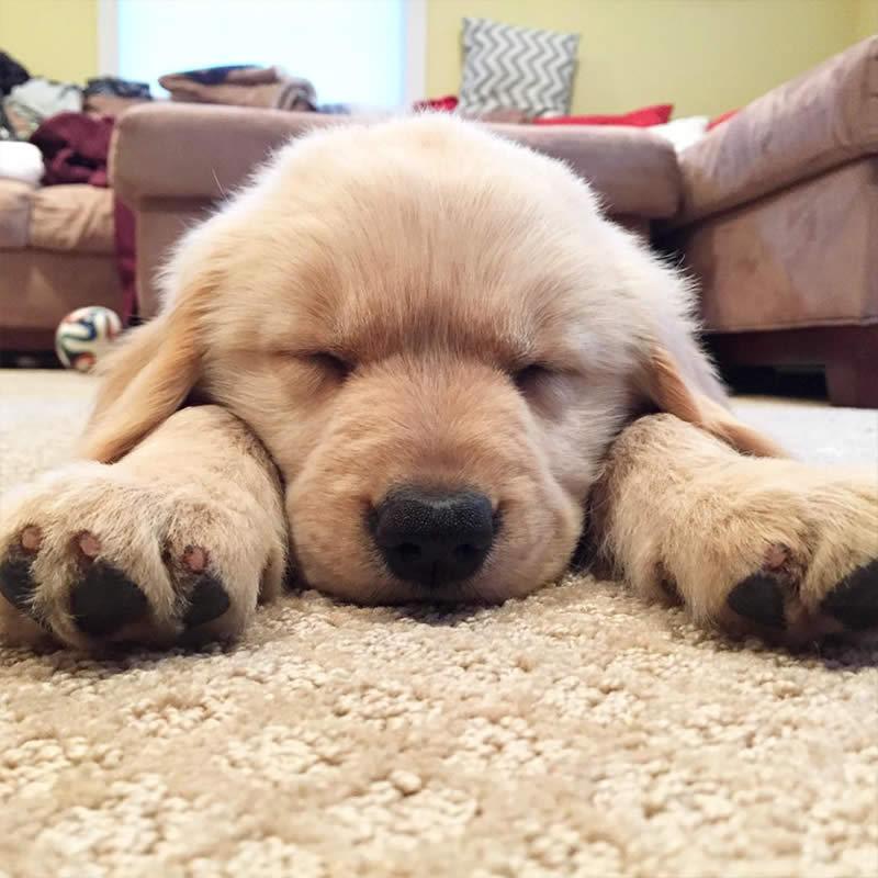 Cute-Puppies-ellathegolden-Sullyburger-com