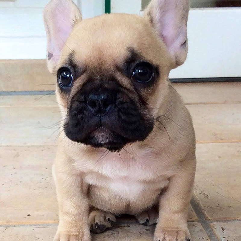 Cute-Puppies-frenchie-world-Sullyburger-com