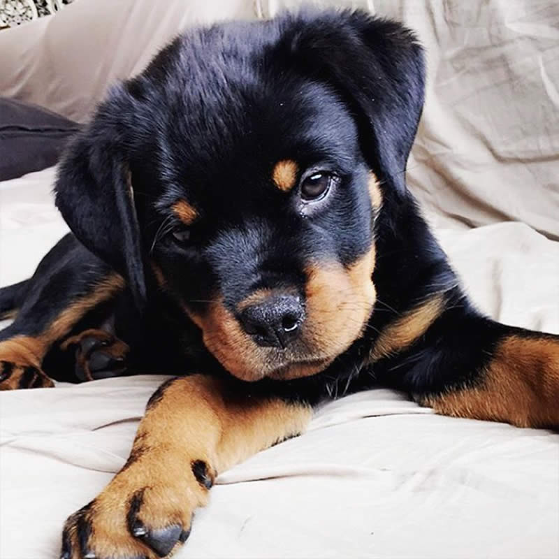Cute-Puppies-lifeoftworotties-Sullyburger-com