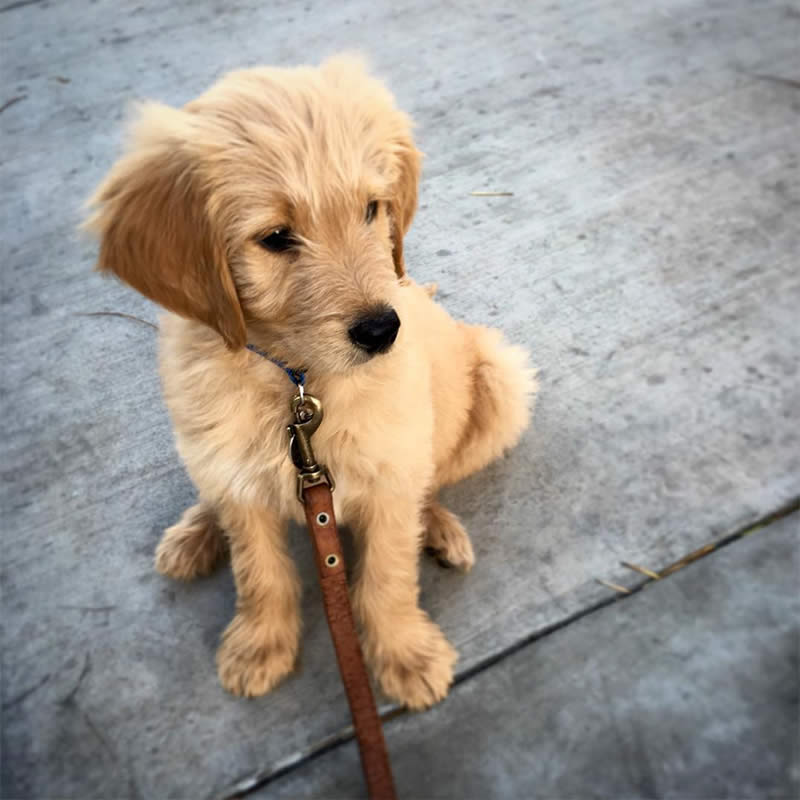 Cute-Puppies-noodlethegolden-Sullyburger-com
