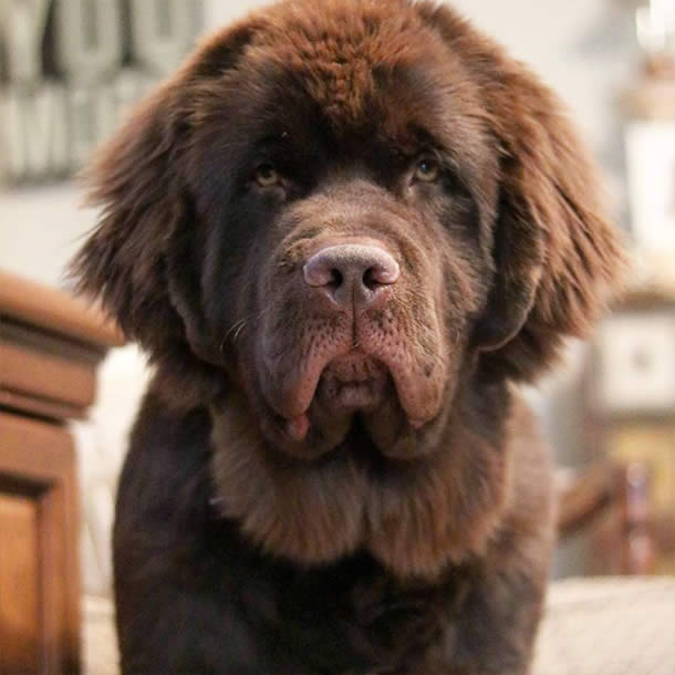 Molly-the-Newfie-Sullyburger-com
