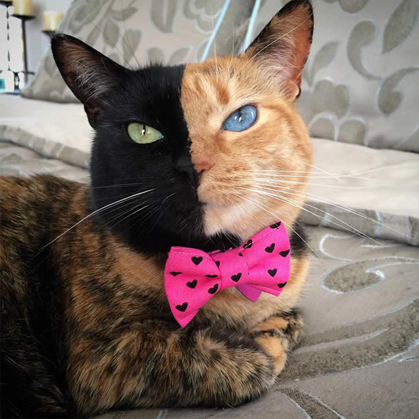 Top-10-Most-Famous-Internet-Cats-04-Venus-Two-Faced-Cat