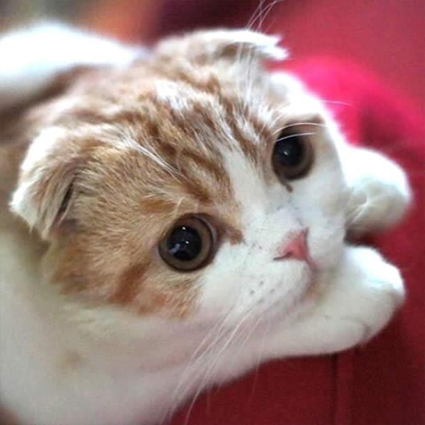 Top-10-Most-Famous-Internet-Cats-05-Waffles-Scottish-Fold