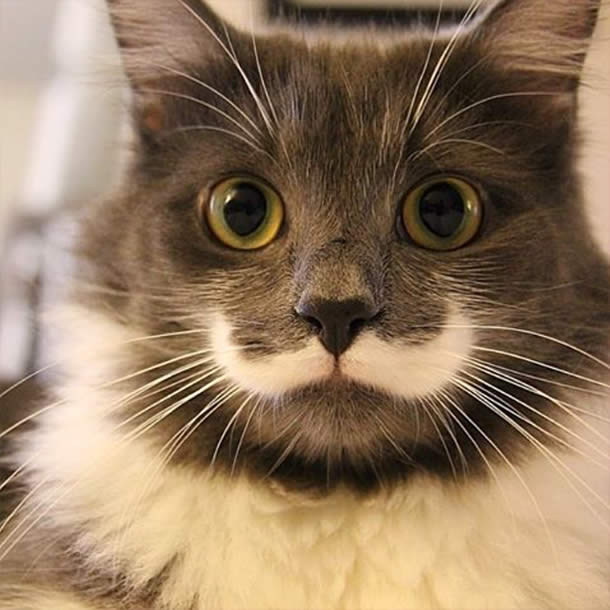 Top-10-Most-Famous-Internet-Cats-06-Hamilton-Hipster-Cat