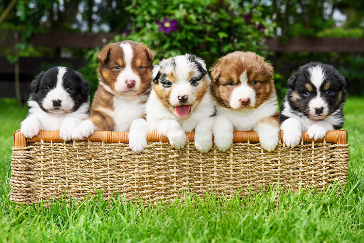 can a litter of puppies have different dads   petset