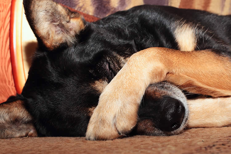 Why Do Dogs Cover Their Eyes With Their Paws Petset why do dogs cover their eyes with their paws? petset com