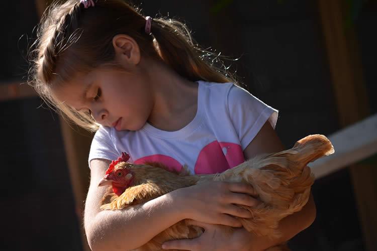 Do Chickens Make Good Pets Petset Com